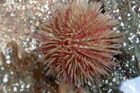 Shore urchin at Port Nadler
