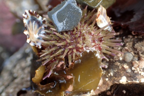 A green shore urchin half-hidden by the shells, seaweeds and pebbles among its spines, Looe