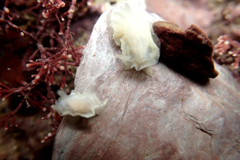 Goniodoris nodosa sea slugs at Wembury, Devon