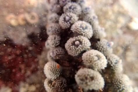 Close-up of a spiny starfish arm, Wembury, Devon