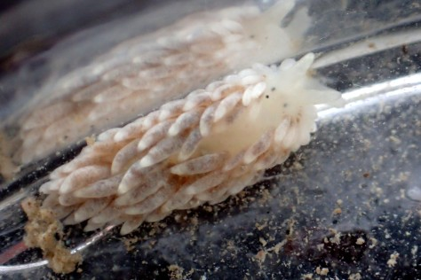 Aeolidella alderi sea slug - this slug looks similar to the common grey (Aeolidia papillosa) at first sight but is more slender with a white 'ruff' of cerrata at its neck.