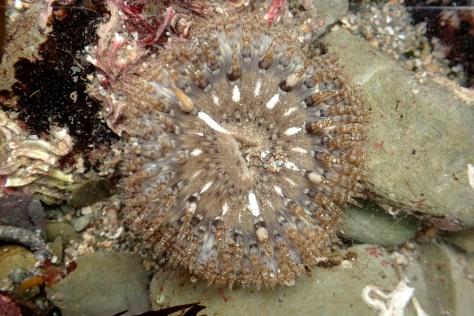 Daisy anemone, Hannafore, Looe