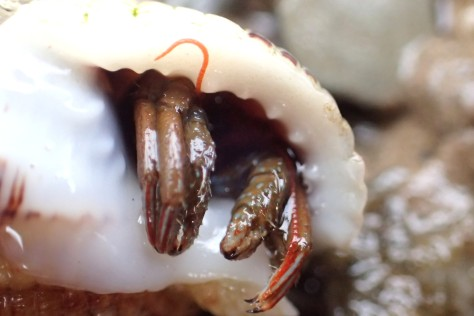 A St Piran's hermit crab starting to emerge from its shell.