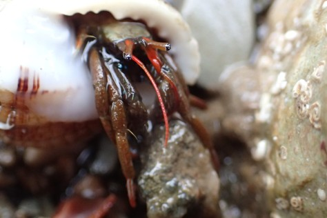 St Piran's hermit crab showing its distinctive red legs and chequerboard eyes
