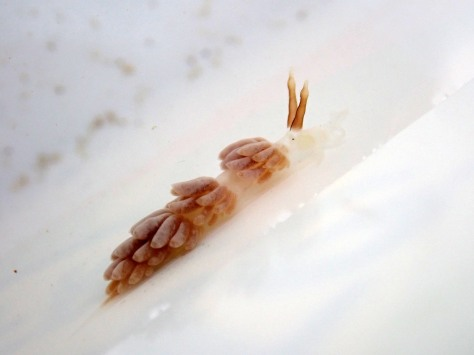 The darker of the two Favorinus branchialis sea slugs, showing the bulge in its rhinophores (the antennae on top of its head)
