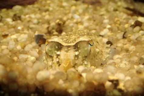 Cuttlefish, like this one in an aquarium, are masters of disguise.