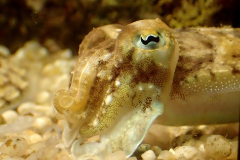This photo of a cuttlefish was taken in aquarium