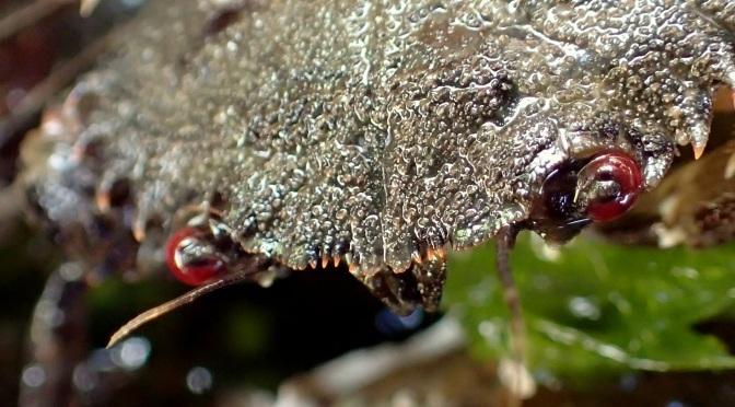 Devil crab in a Cornish rock pool
