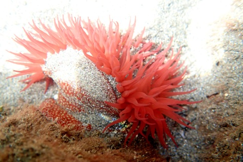 The stinging cells in this Strawberry anemone can't hurt me and it doesn't swim away - it's much easier to photograph!