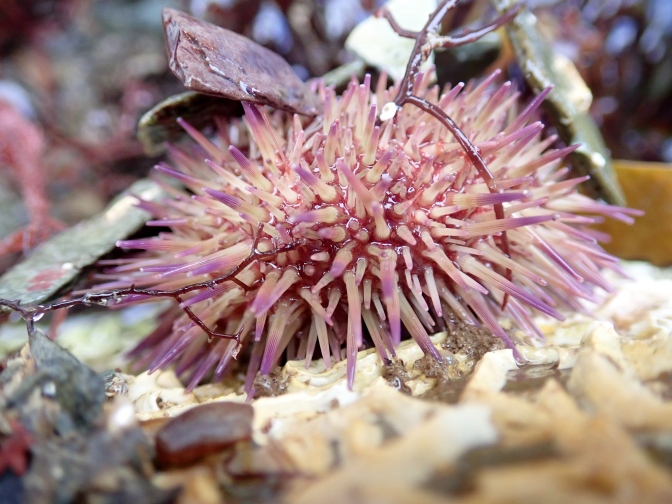Green shore urchin, Hannafore, Looe