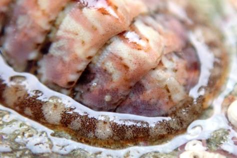 Lepidochitona cineraria - a chiton