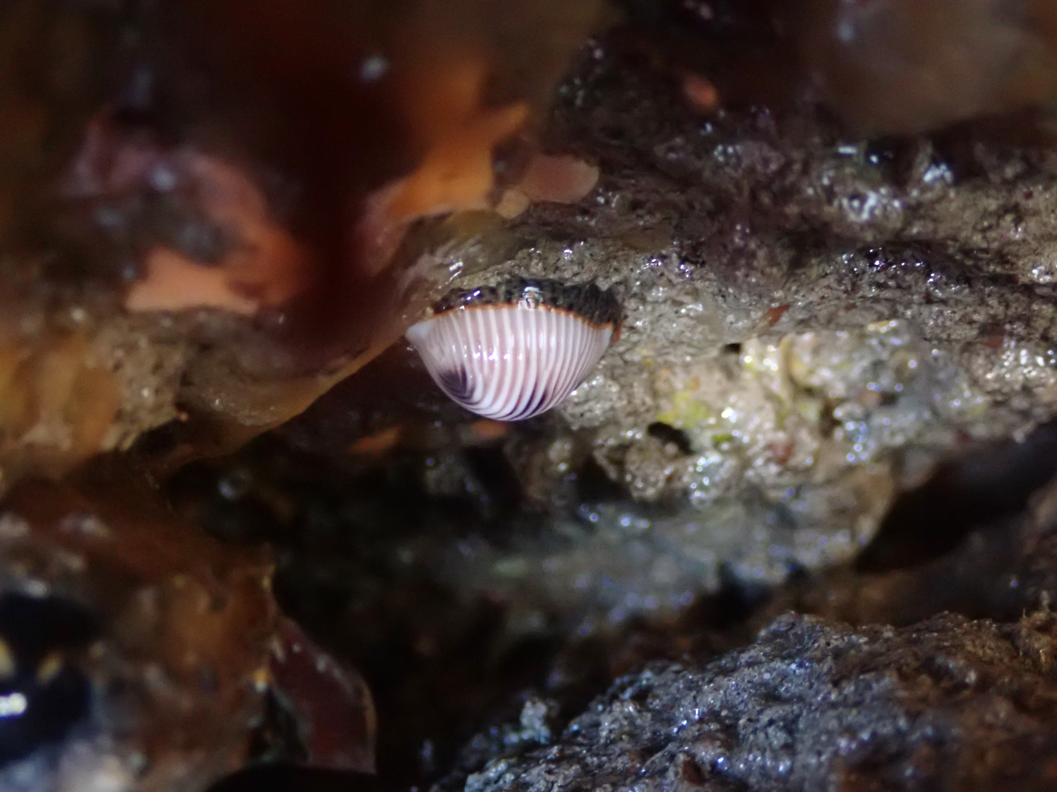 3-spot cowrie hanging on an overhang