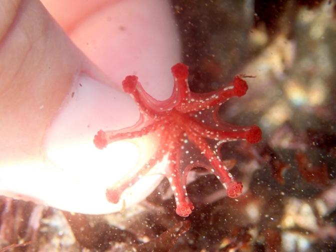 Calvadosia campanulata stalked jellyfish