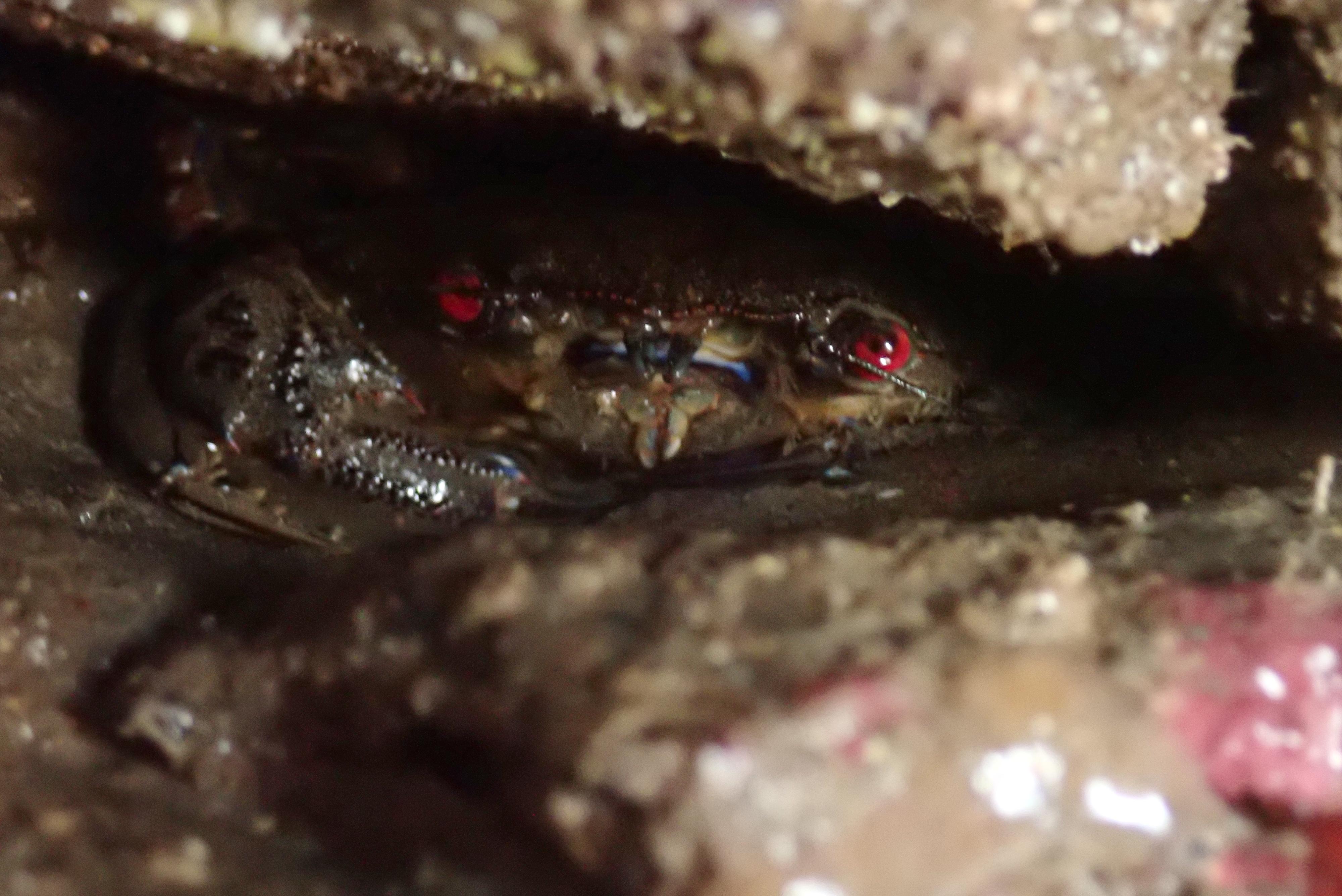 A Velvet swimming crab lurking under an overhang
