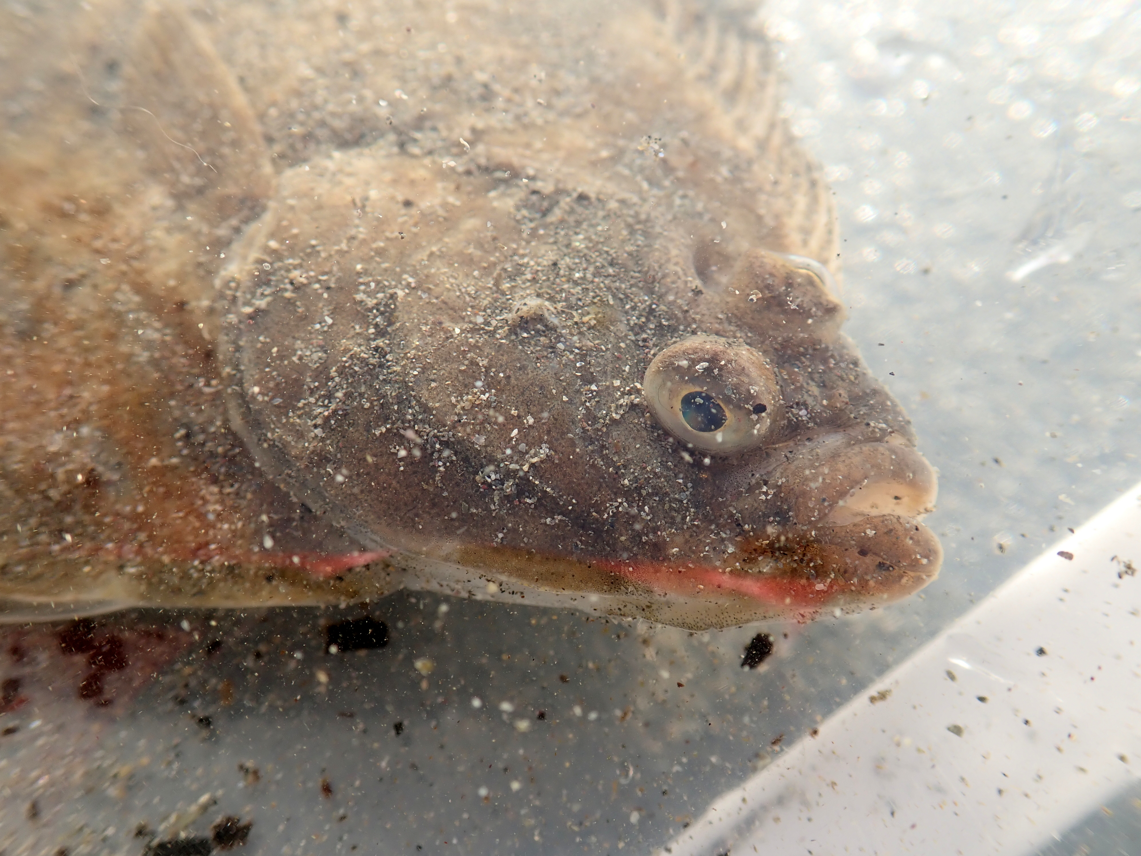 The upturned flounder revived considerably once it was in some water.