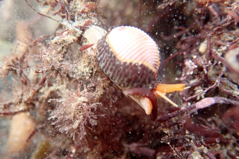 The Cornish rock pools are full of tiny creatures that are often overlooked. I could have spent all day watching this 3-spot cowrie (Trivia monacha). The colours are amazing and there's something incredibly fetching about its big orange syphon. A perfect way to end the year.