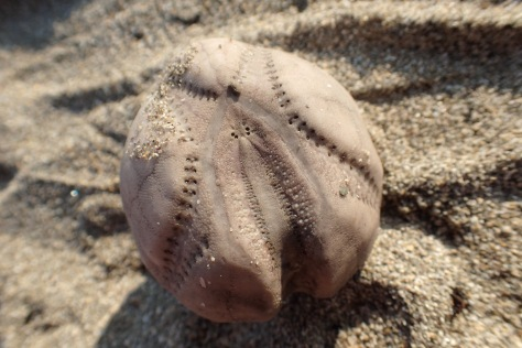 'Sea potato' - these little urchins are covered in spines when alive. They bury themselves in muddy sand but sometimes get washed to the surface in storms.