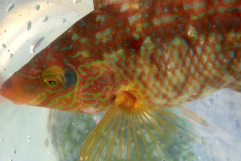 Fish always seem to get away, so we were all very excited when I managed to coax this beautiful Corkwing wrasse into my bucket on a family rockpooling day. It's such a tropical looking fish.