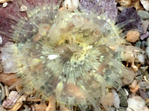 An unusual yellow Daisy anemone - perhaps what the sea slug had been eating.