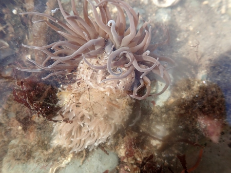 Headfirst into its lunch - a Great grey sea slug (Aeolidia sp.) eating a snakelocks anemone.