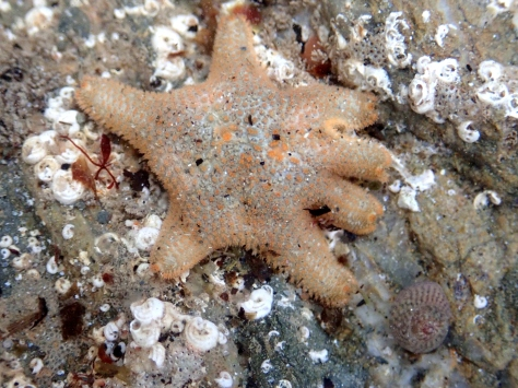 A Cushion star trying to pass as a seven-arm starfish.
