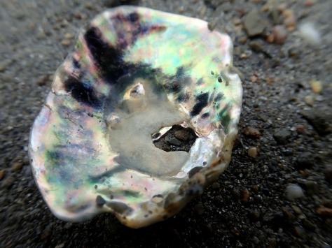 Inside of a saddle oyster shell showing its incredible mother-of-pearl colours