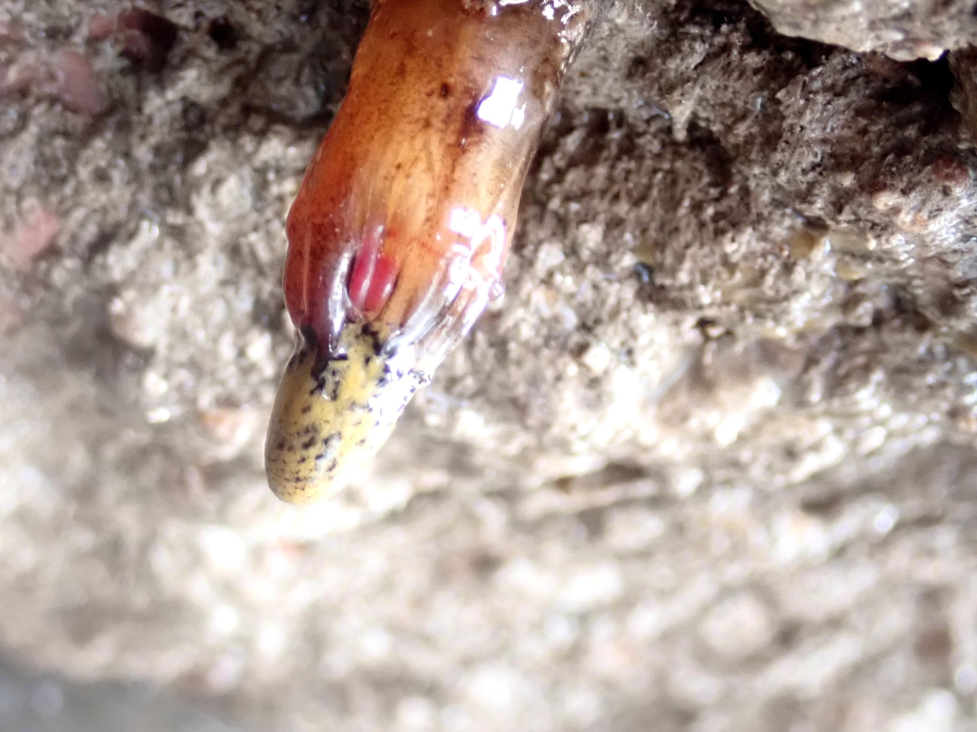 The tip of a brown sea cucumber, Aslia lefevrei