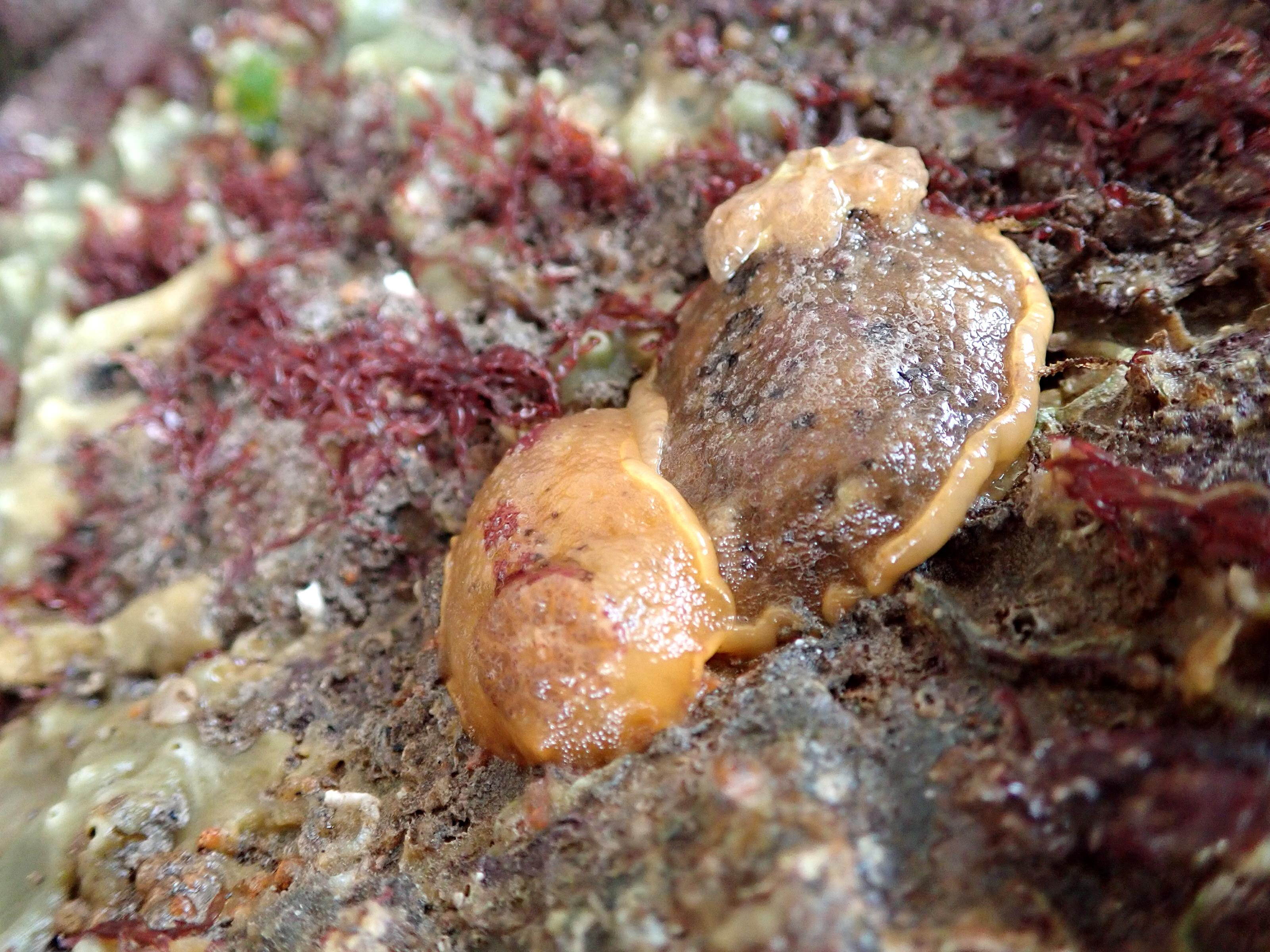 Sea lemons - a type of sea slug - enjoying each other's company.