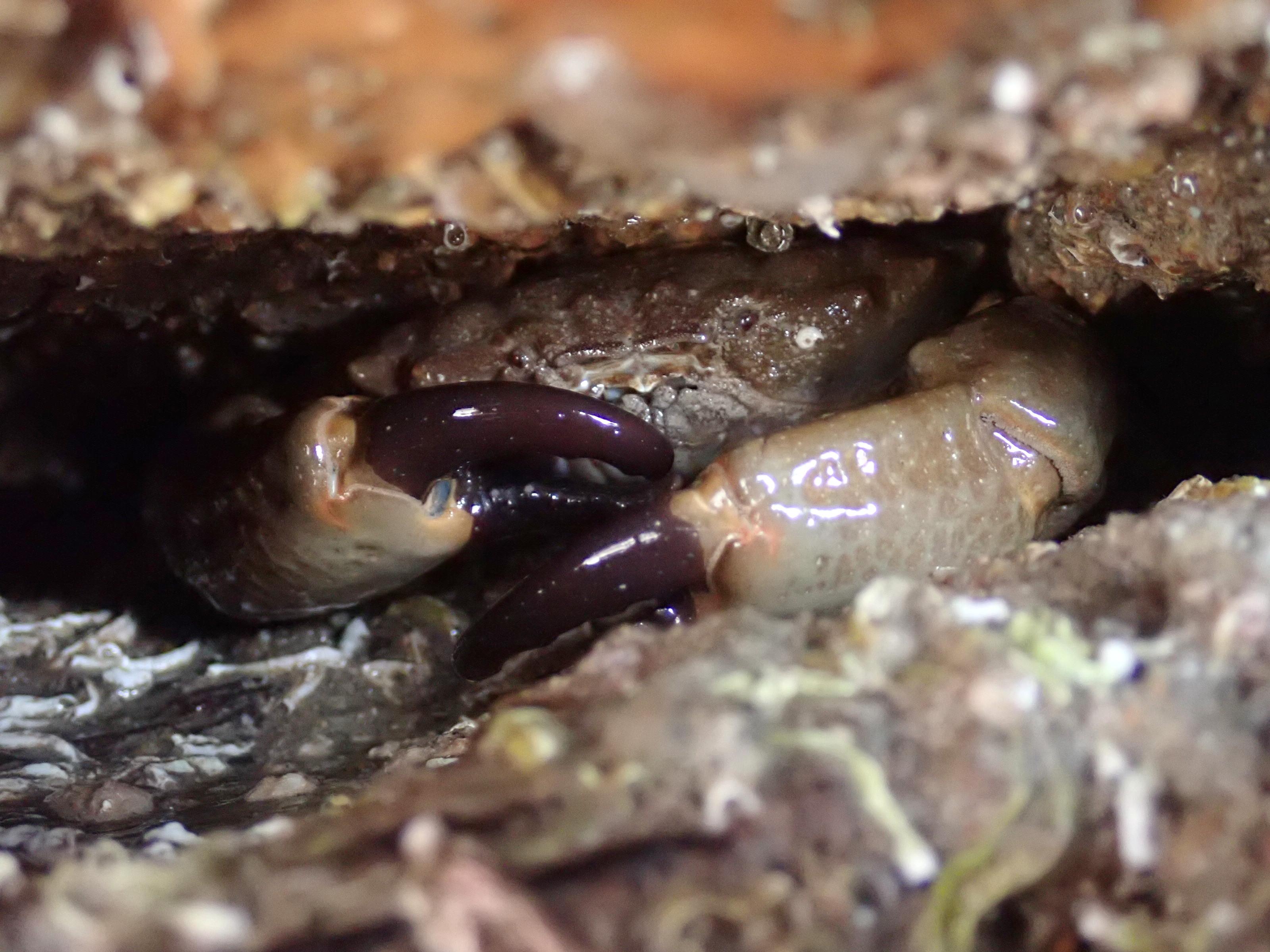 Xantho hydrophilus crab