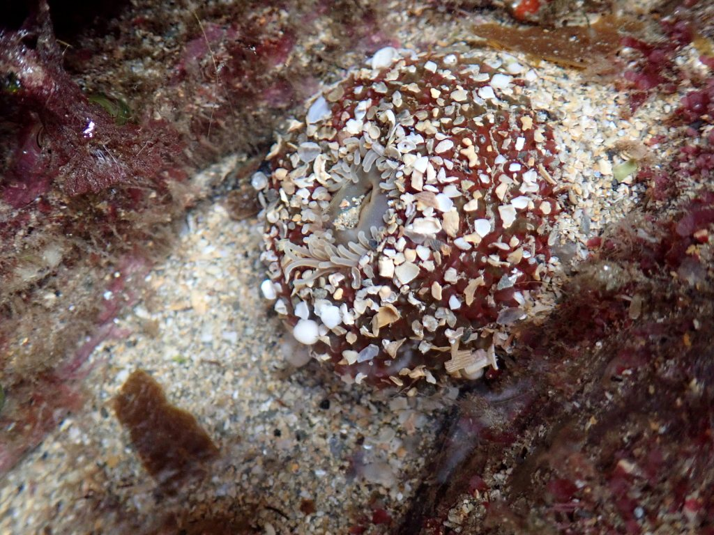 Dahlia anemone with tentacles partly retracted - the column is sticky so is covered with fragments of shell.