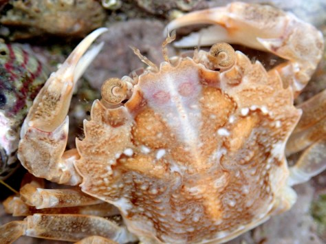 Harbour crab (Liocarcinus depurator) at Bream Cove