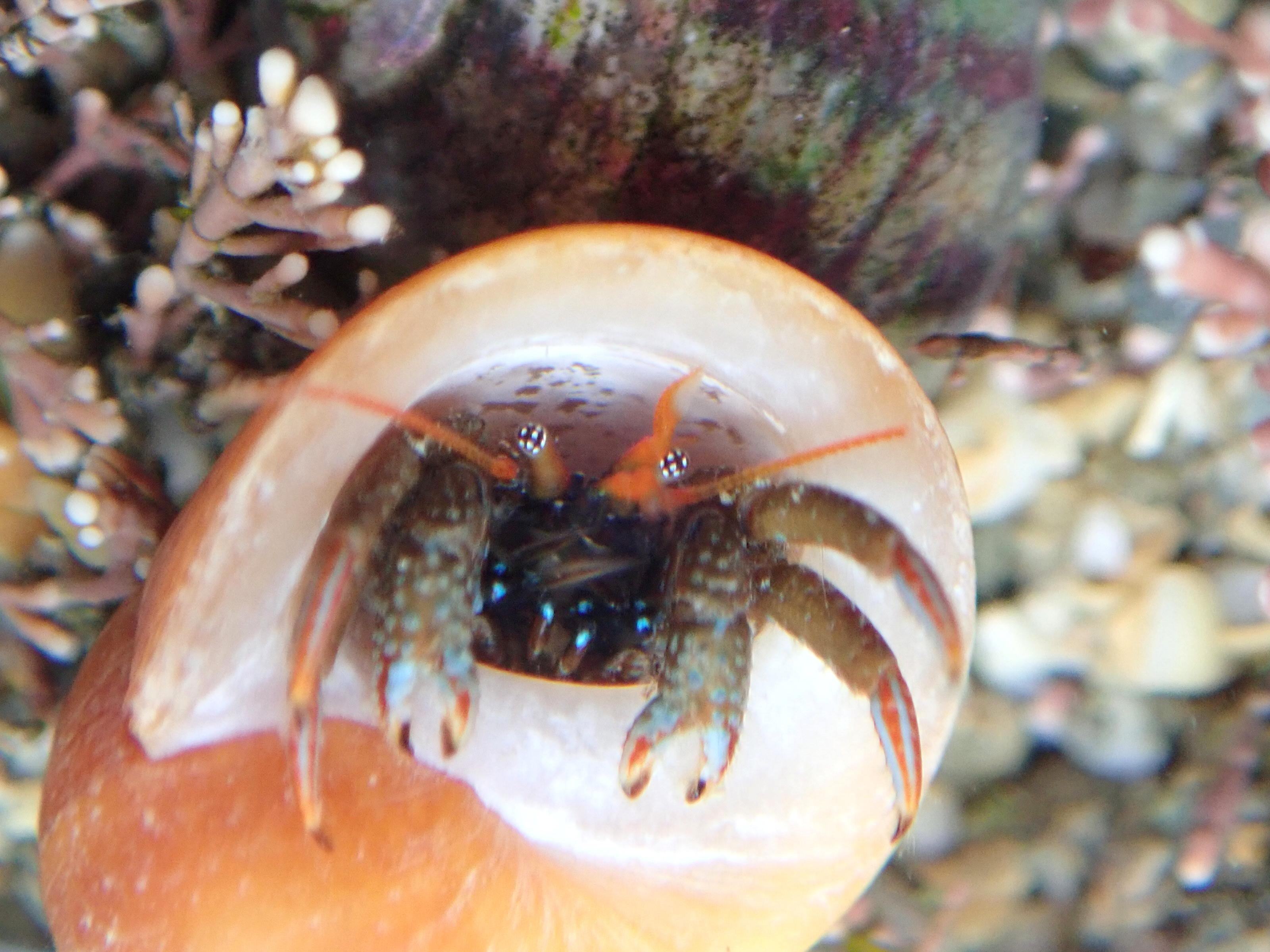 St Piran's Hermit Crab (Clibanarius erythropus) showing its equal-sized claws