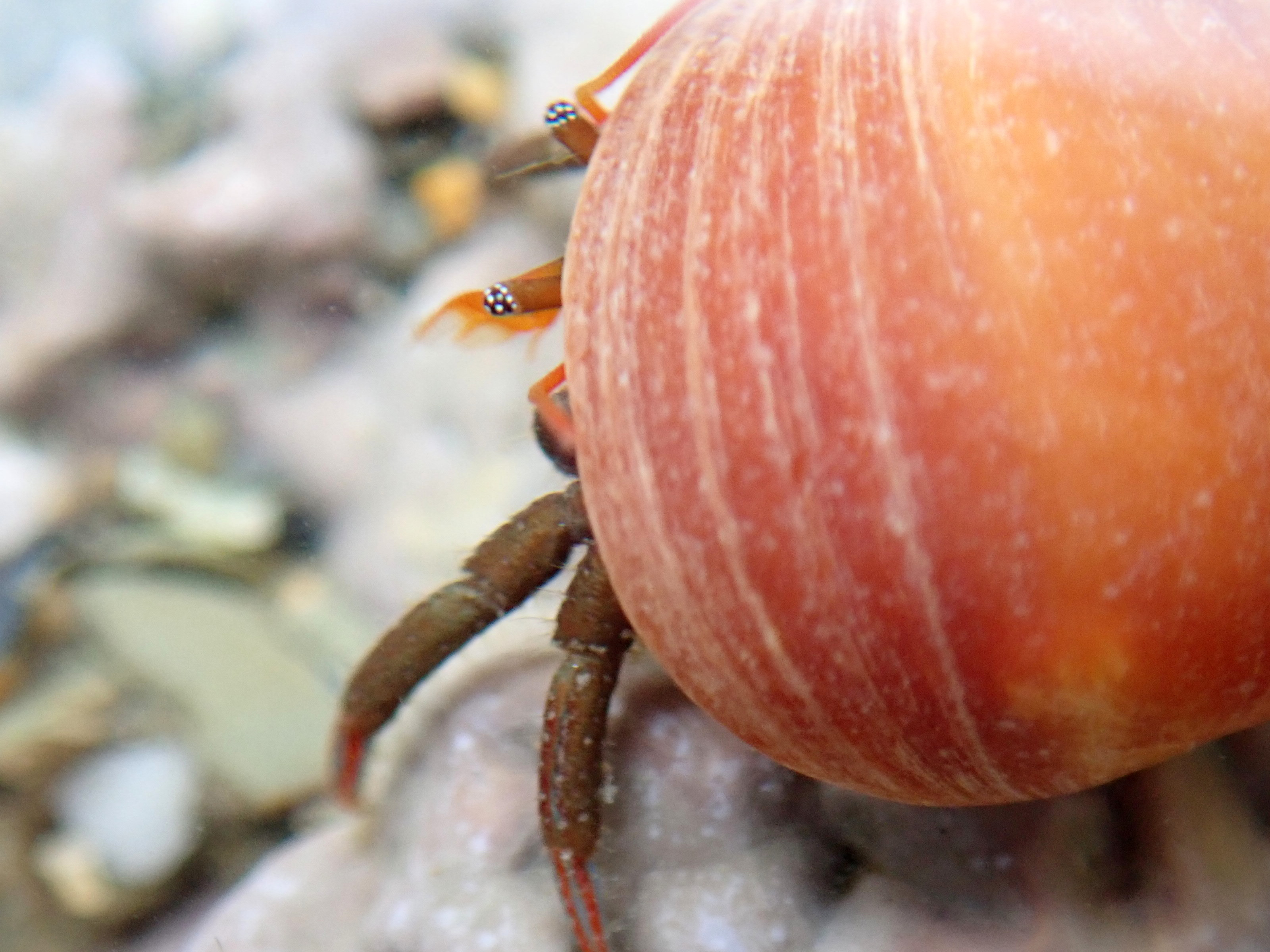 St Piran's Hermit crab on the move with its black and white eyes sticking out.