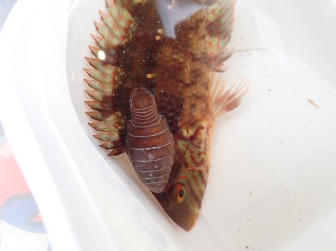 Enough to put you off your food - Anilocra physodes parasitic isopods feeding on the wrasse.