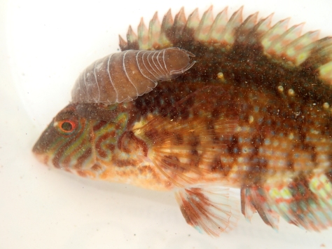 Corkwing wrasse with parasitic isopods (Anilocra physodes)