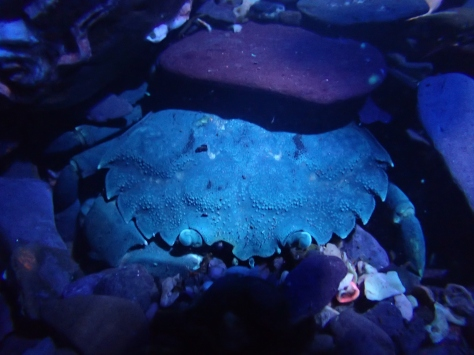 A green shore crab looking blue in the UV light