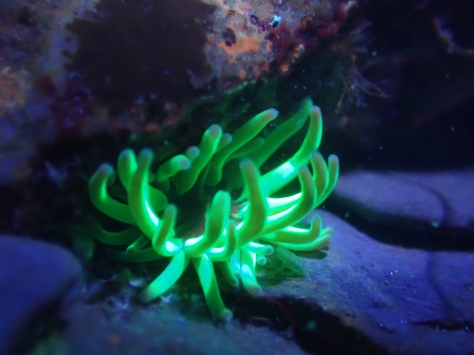 Snakelocks anemone at night under UV light - a true alien of the Cornish rock pools
