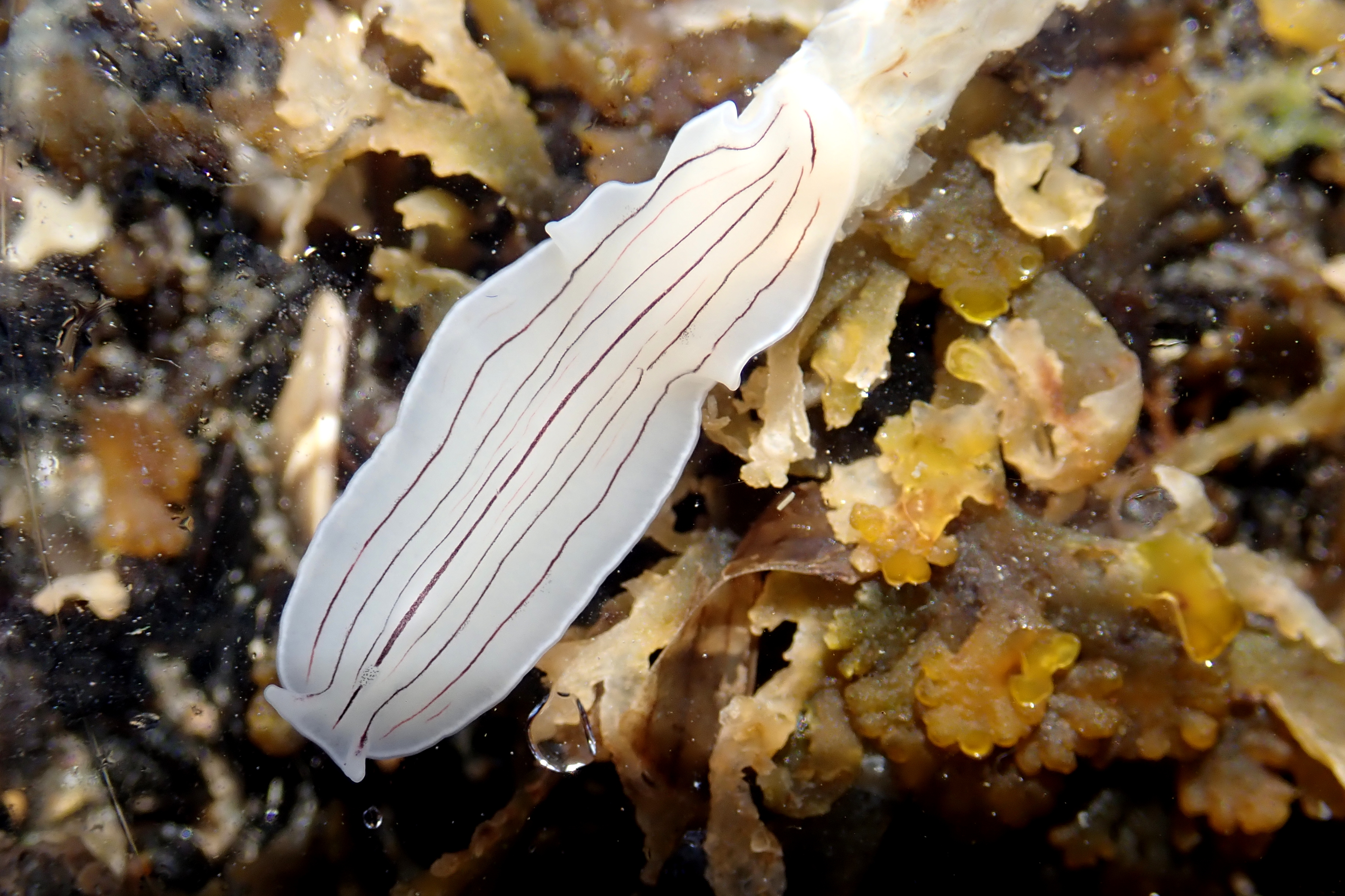 Candy-striped flatworm at Gyllingvase, Falmouth