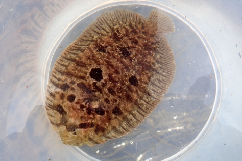 Topknot flatfish showing the classic dark stripe across the eyes.