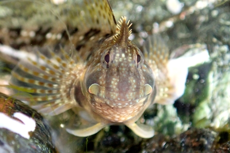 Blennies' thick lips make them look like they're smiling, but this Montagu's blenny just wants to attack my camera!