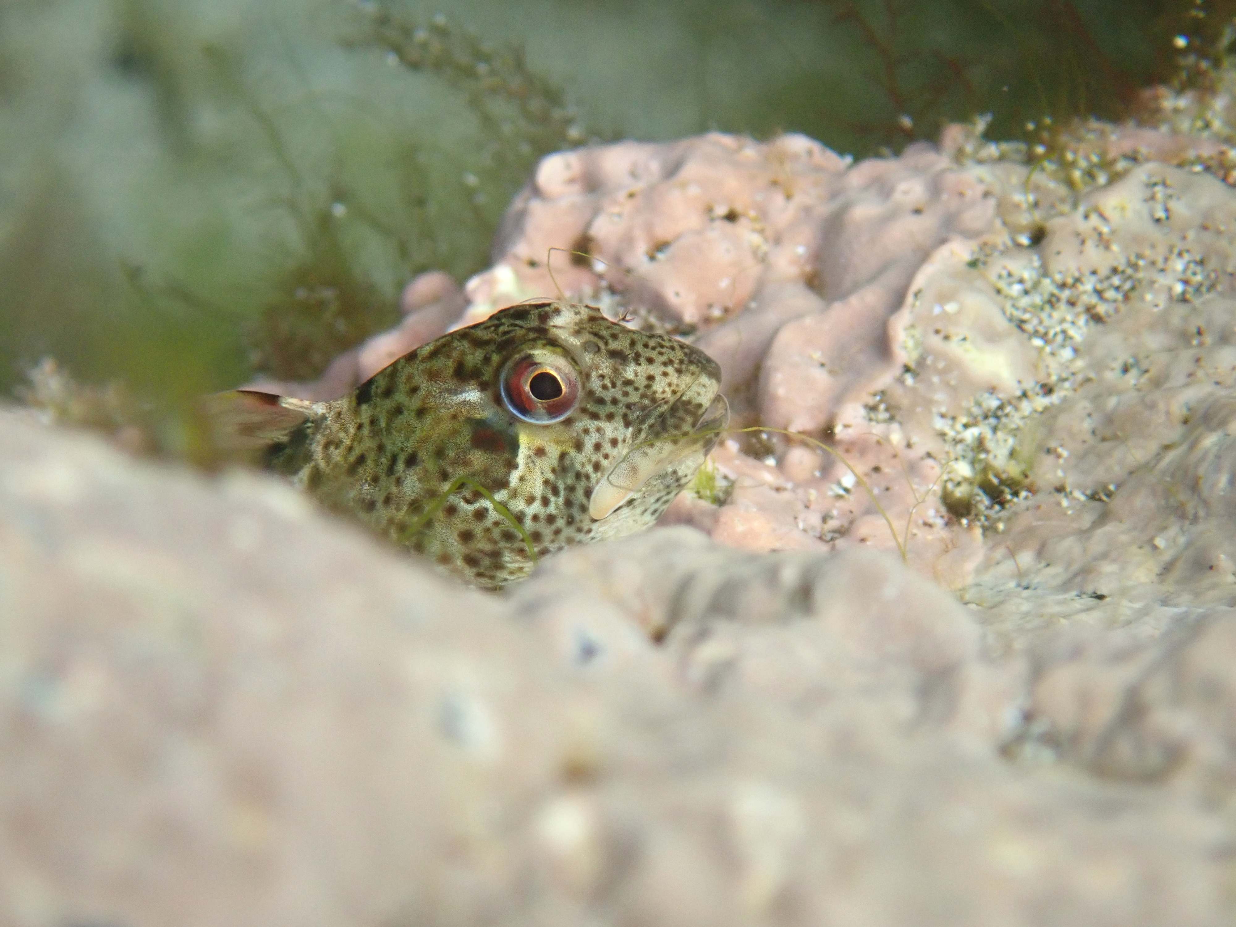 Being watched... a young shanny (common blenny) edges up the side of the pool to take a look at me. Kynance Cove, Lizard, Cornwall.
