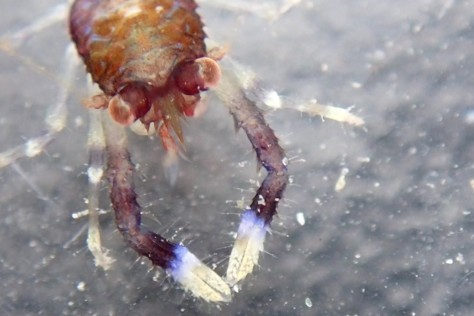 The freshly moulted squat lobster (Galathea sp.) showing off some very hairy claws. Coverack, Cornwall.