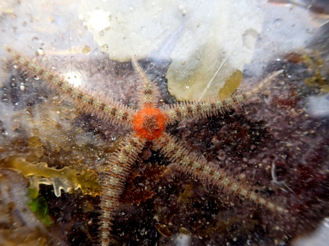 Brittle star with a lovely orange central disk - Ophiothrix fragilis