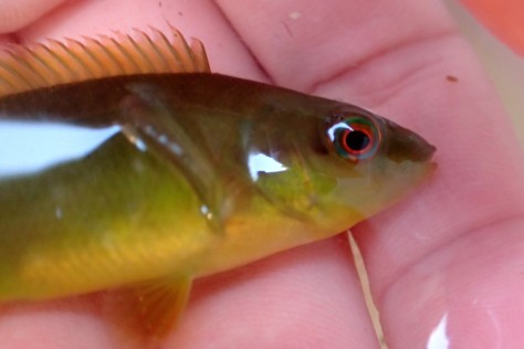 Juvenile ballan wrasse can be bright green like this one, but they grow up to around 50cm long when they're mature.