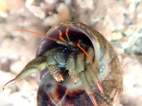 St Piran's hermit crab - now a common find on all our local beaches.