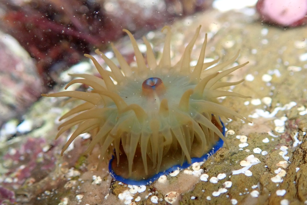 A rather green beadlet anemone with blue markings around its base and on its mouth.