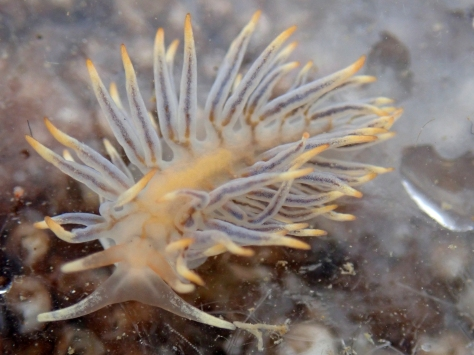Calma glaucoides - a sea slug (nudibranch) that feeds on clingfish eggs.