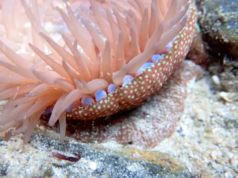 Strawberry amemone showing its blue beadlet fighting tentacles