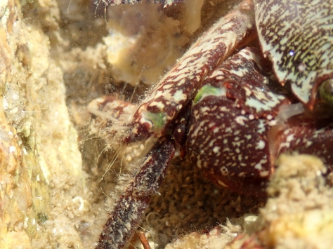 The fabulous green knees of Pachygrapsus marmoratus!