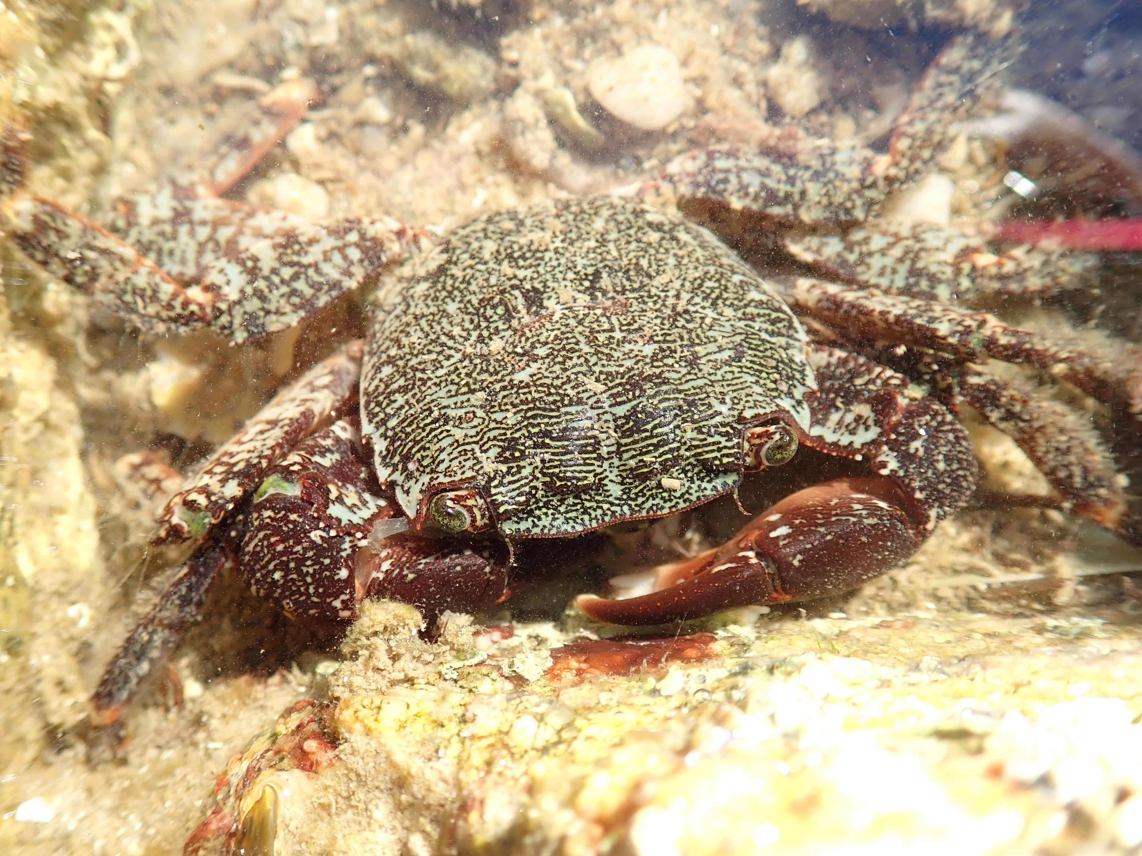 Pachygrapsus marmoratus crab